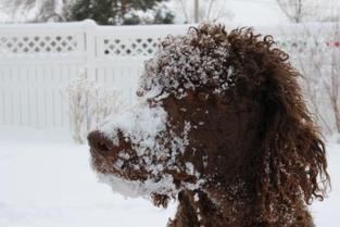 Chocolate Standard Poodle in snow